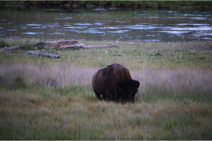 one of many bison sightings